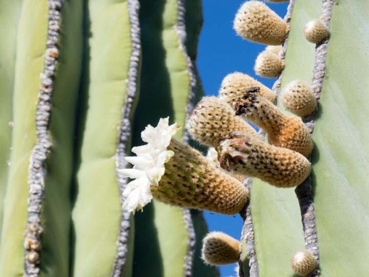perico cardon bloom 3 P1150054